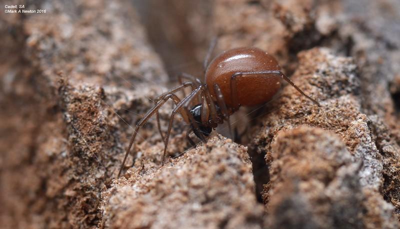 Ostearius sp. cf. melanopygius