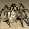 Wolf spider - Lycosidae