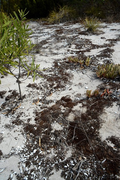 Dingosa serrata habitat