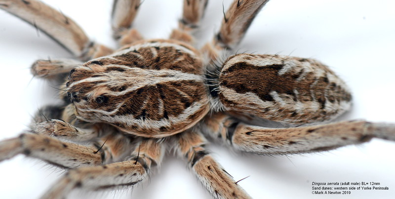 Dingosa serrata (adult male) BL= 12mm