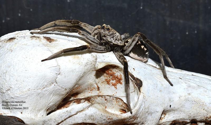 Hoggicosa natashae (female)
