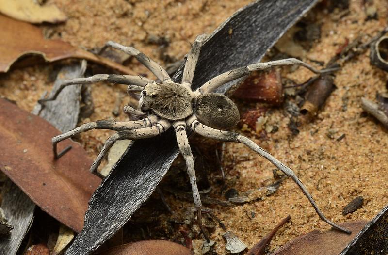Hoggicosa sp. cf. wolodymyri  (male)