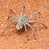 Hoggicosa natashae (juvenile)