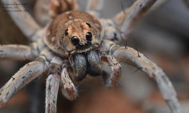 Hoggicosa wolodymyri  (male)