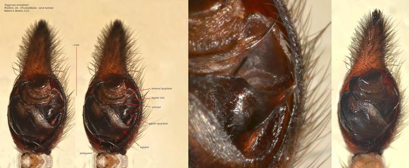 Hoggicosa wolodymyri  (male) palp