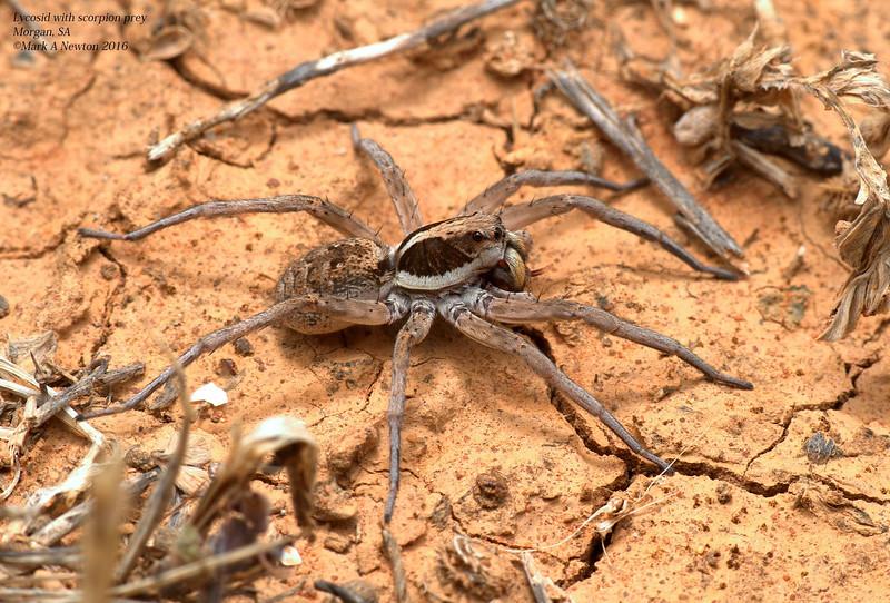 Hogna burti consuming juvenile Buthid scorpion
