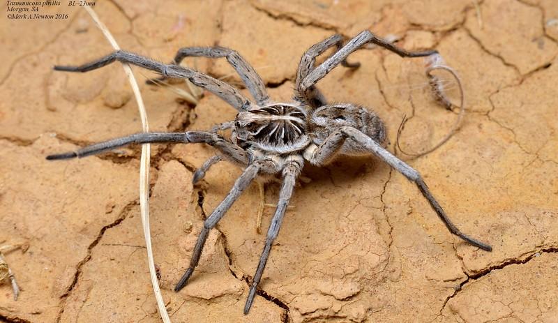 Tasmanicosa phyllis  (male)