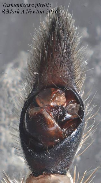 Tasmanicosa phyllis  (male palp)