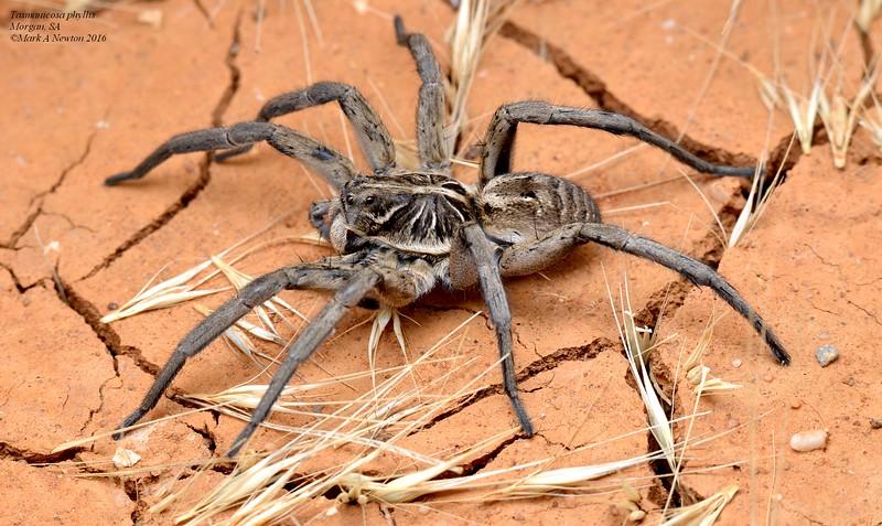 Tasmanicosa phyllis  (female)