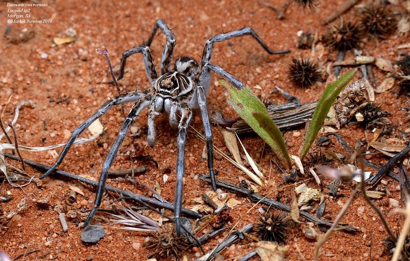 Tasmanicosa ramosa