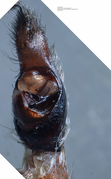 Undescribed species 1 (Lycosinae) palp