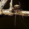 Australomimetus sp. cf. aurioculatus