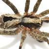 Argoctenus sp