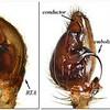 Argoctenus sp (male) palp
