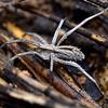 Argoctenus sp. cf. vittatus