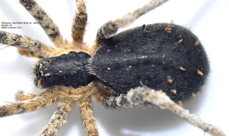 Elassoctenus sp