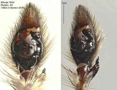 Miturga sp (male) palp
