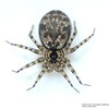 Oecobius navus (Cosmopolitan midget house spider)