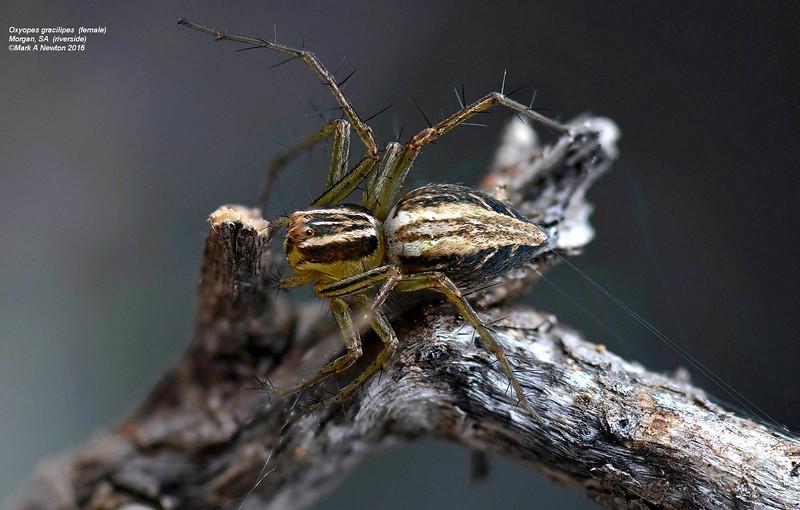 Oxyopes gracilipes ♀