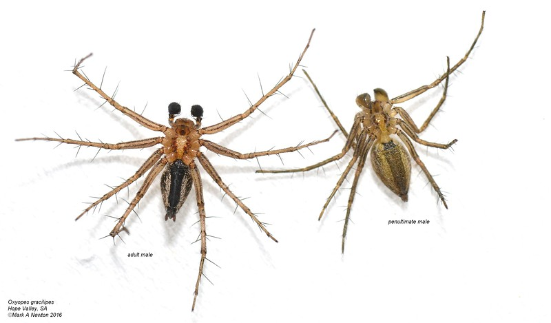 Oxyopes gracilipes ♂  adult vs penultimate -  ventral