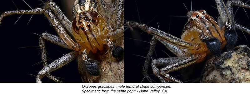Oxyopes gracilipes (♂ femoral stripe variance)