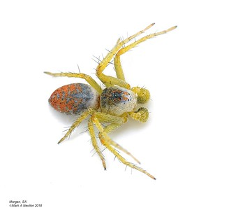 Oxyopes sp 1 (undescribed) subadult male