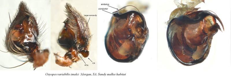 Oxyopes sp cf variabilis  (male) left palp details