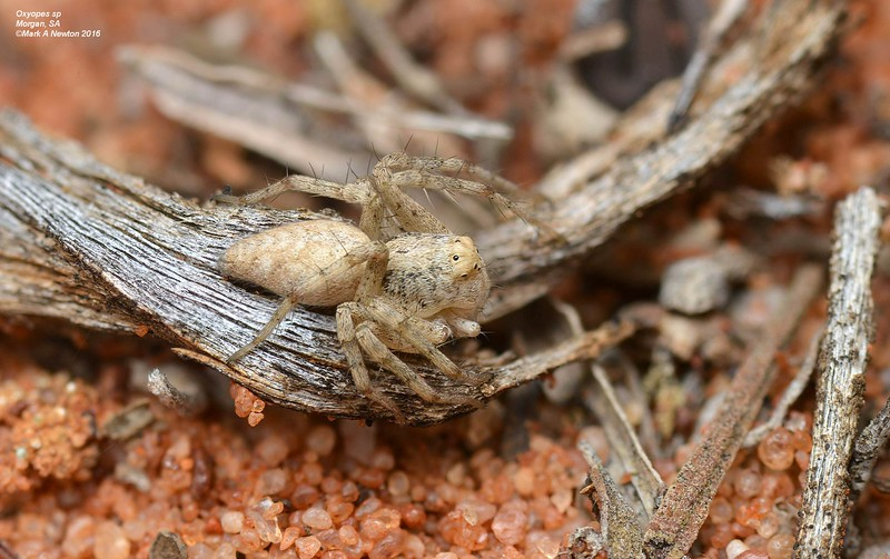 Oxyopes sp cf variabilis  (female). variant or different species