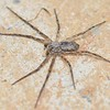 Philodromus sp ♂