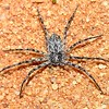 Philodromus sp
