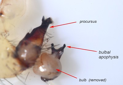 Holocnemus pluchei ♂  palp