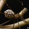 Smeringopus natalensis ♀
