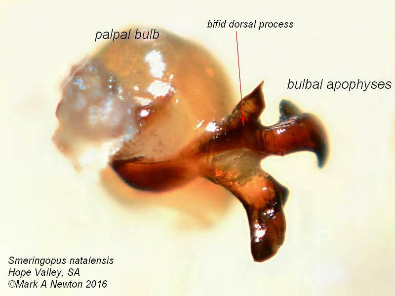 Smeringopus natalensis ♂  palp