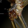 Smeringopus natalensis ♂  showing tri-lobed palp