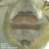 Trichocyclus arabana ♀ ventral abdomen