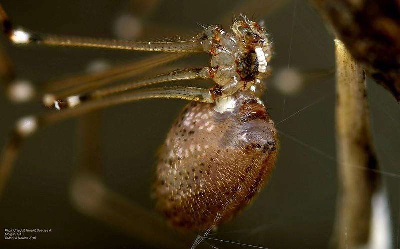 Trichocyclus arabana ♀ exuding indigestible pellets