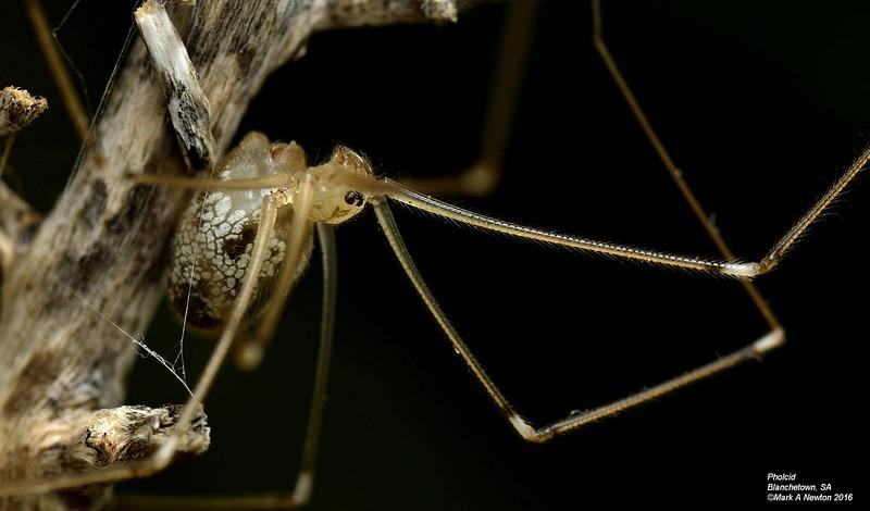 Wugigarra kaurna ♀