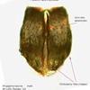 Wugigarra kaurna ♂  chelicerae
