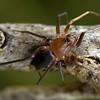 Molycria quadricauda  (female)