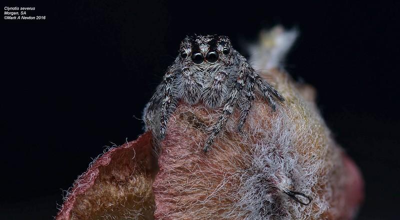 Clynotis severus (female)