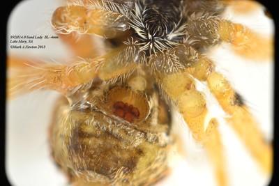 Grayenulla sp1 (female) showing epigyna