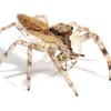 Helpis sp cf. minitabunda juvenile with juvenile redback spider prey