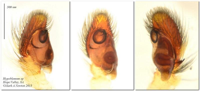 Hypoblemum griseum  ♂  palp