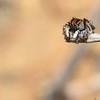 Maratus chrysomelas
