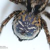 Maratus nimbus (adult male, missing front legs)