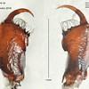 Myrmarachne striatipes