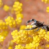 Ocrisiona sp (wasp mimic)