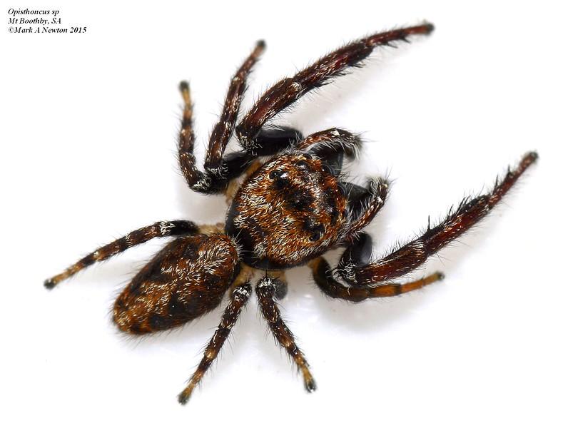 Opisthoncus sp ♂