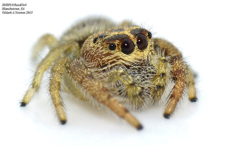 Opisthoncus sp ♀