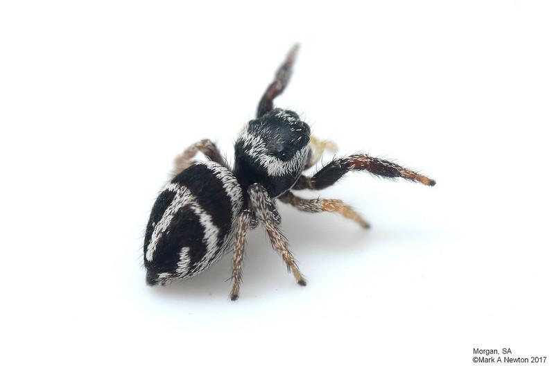 Pellenes bitaeniata